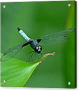 Black And Blue Dragonfly Acrylic Print