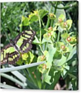 Black And Green Butterfly Acrylic Print
