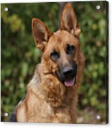 Black And Red German Shepherd Dog Acrylic Print