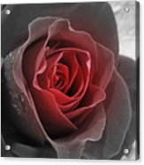 Black And Red Rose Acrylic Print