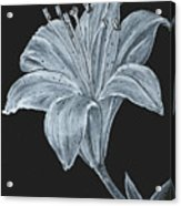 Black And White Asiatic Lily Acrylic Print