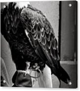 Black And White Bald Eagle Acrylic Print