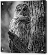 Black And White Barred Owl Acrylic Print