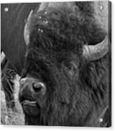 Black And White Bison In Heat Acrylic Print