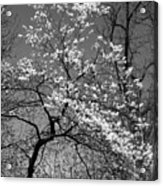 Black And White Blossoms Acrylic Print