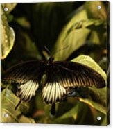 Black And White Butterfly Acrylic Print