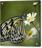Black And White Butterfly On A Daisy Acrylic Print