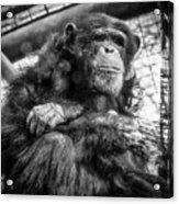 Black And White Chimp Acrylic Print