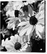 Black And White Coneflowers Acrylic Print