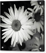 Black And White Daisy 1 Acrylic Print