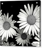 Black And White Daisy 2 Acrylic Print