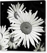Black And White Daisy 3 Acrylic Print