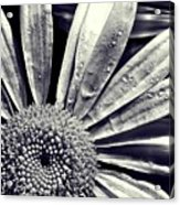 Black And White Daisy  Acrylic Print