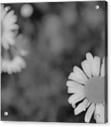 Black And White Daisy Acrylic Print