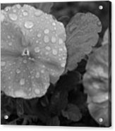 Black And White Dewy Pansy 1 Acrylic Print