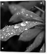 Black And White Dewy Petals Acrylic Print