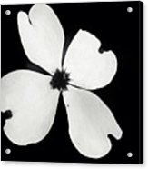 Black And White Dogwood Bloom Acrylic Print
