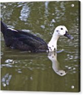 Black And White Duck Reflections Acrylic Print