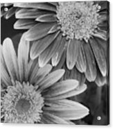 Black And White Gerber Daisies 2 Acrylic Print