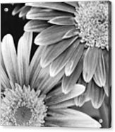 Black And White Gerber Daisies 3 Acrylic Print