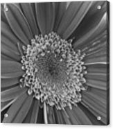 Black And White Gerber Daisy 4 Acrylic Print