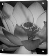 Black And White Lotus In Full Bloom Acrylic Print