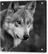 Black And White Mexican Wolf #4 Acrylic Print