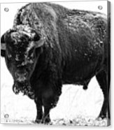 Black And White Of A Massive Bison Bull In The Snow  Acrylic Print