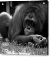 Black And White Orangutang Acrylic Print
