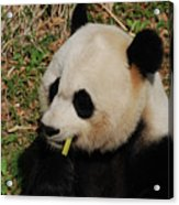 Black And White Panda Bear Eating Green Bamboo Shoots Acrylic Print