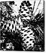 Black And White Pine Cone Acrylic Print