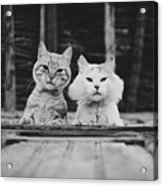 Black And White Portrait Of Two Aadorable And Curious Cats Looking Down Through The Window Acrylic Print