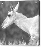 Black And White Pronghorn Portrait Acrylic Print