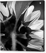 Black And White Sinflower 6 Acrylic Print