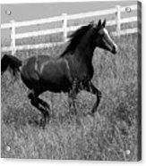 Black And White Steed Acrylic Print