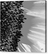 Black And White Sunflower Acrylic Print