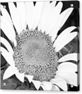 Black And White Sunflower Face Acrylic Print
