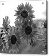 Black And White Sunflowers Acrylic Print