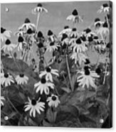 Black And White Susans Acrylic Print