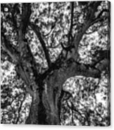 Black And White Tree 4 Acrylic Print