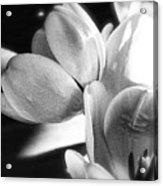 Black And White Tulips #4 Acrylic Print
