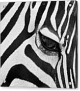 Black And White Zebra Close Up Acrylic Print