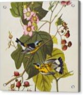 Black And Yellow Warbler Acrylic Print