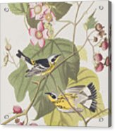 Black And Yellow Warblers Acrylic Print