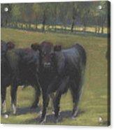 Black Angus Buddies Acrylic Print
