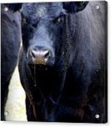 Black Angus Bull Acrylic Print by Tam Graff