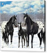 Black Appaloosa Horses In Winter Pasture Acrylic Print