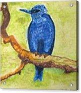 Black As Blue Bird Acrylic Print