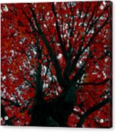 Black Bark Red Tree Acrylic Print