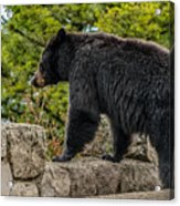 Black Bear Boar Taking In The Sights Acrylic Print